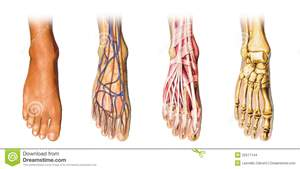 http://www.dreamstime.com/stock-images-human-foot-anatomy-cutaway-representation-image22517144